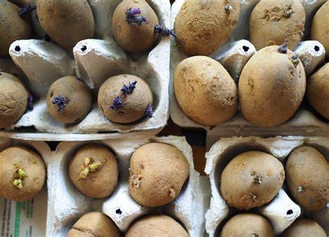 kartoffeln wann pflanzen kartoffeln pflanzen wann ist der richtige zeitpunkt