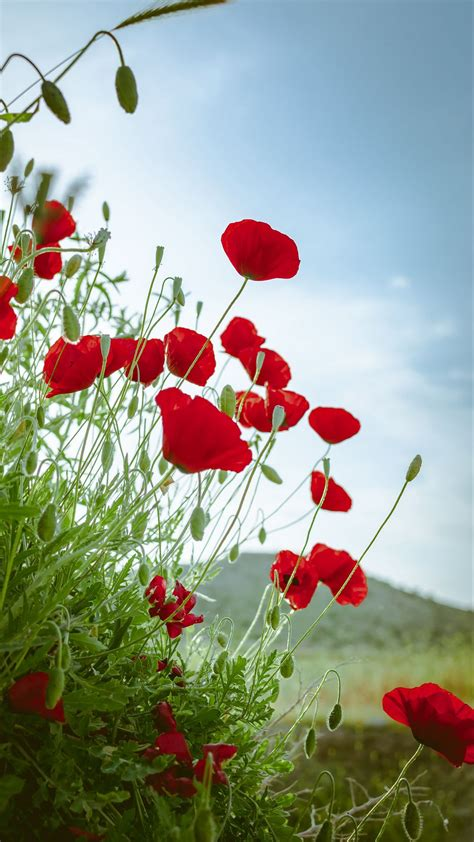 Download Wallpaper 1080x1920 Poppies Flowers Red Plant
