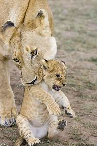 African Lion Mother Picking Up Cub Photograph by Suzi ...