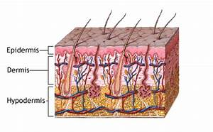 The layers of the human skin - Best Anti-Aging Blog