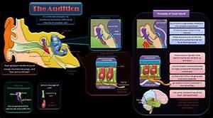 Educative Diagrams  The Sense Of Hearing