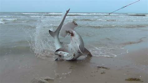 blacktip shark fishing      shark