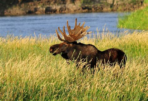 how much are moose antlers worth wilderness realty