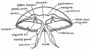 Figure 1 Diagram Of A  Jellyfish  Fiar Night Of The