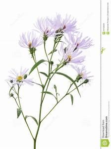Light Lilac Wild Flower On White Stock Image - Image: 64150529