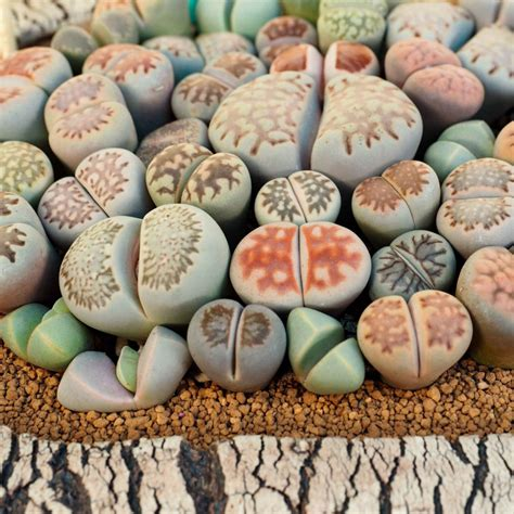 Lithops Are