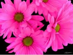 pink flower wallpaper ...