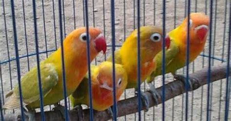 jual lovebird kepala emas harga  rb burung