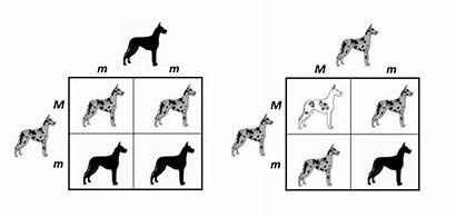 Merle Genetics Dog Dogs Colors Canine Testing