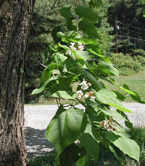 Catalpa speciosa - Cigar Tree