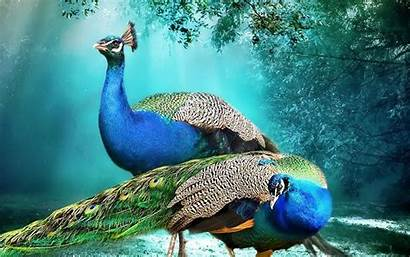 Peacock Background Pair Peacocks Wallpapers Wallpapers13