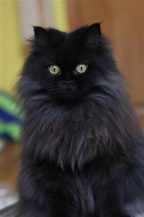 fotos von katzen die geschoren wurden katzen forum