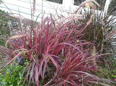 grow pennisetum variegated red fountain grass