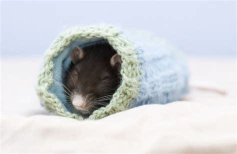 rats  cute  adorable  thaumaturgical