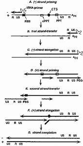 Mechanism Of Hiv
