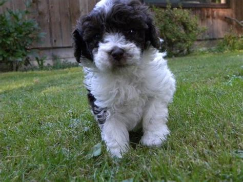 toy poodle puppy chocolate  white parti male  sale