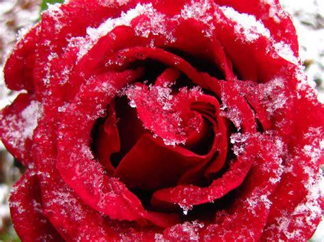 rose im schnee hohenahr myheimatde