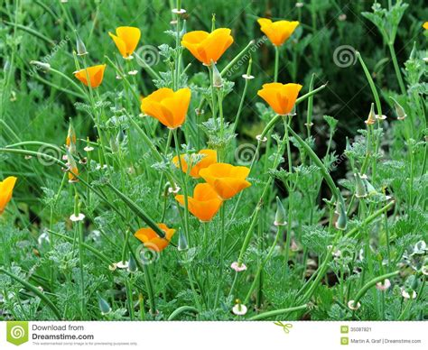 poppy bloom time golden poppy herbal meadow stock image image 35087821