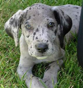 Great Dane Puppy Best Pictures | Puppy Photos Collection