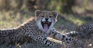 Nat Geo Wild  Why The Cheetah Population Is Shrinking