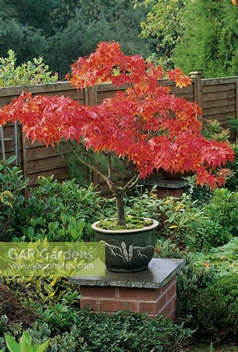 gap gardens acer palmatum osakazuki japanese maple in an style pot sitting on