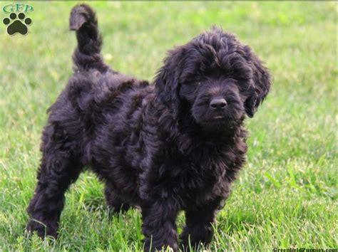 A Wonderful Family Pet My Favorite Black Golden Doodle A
