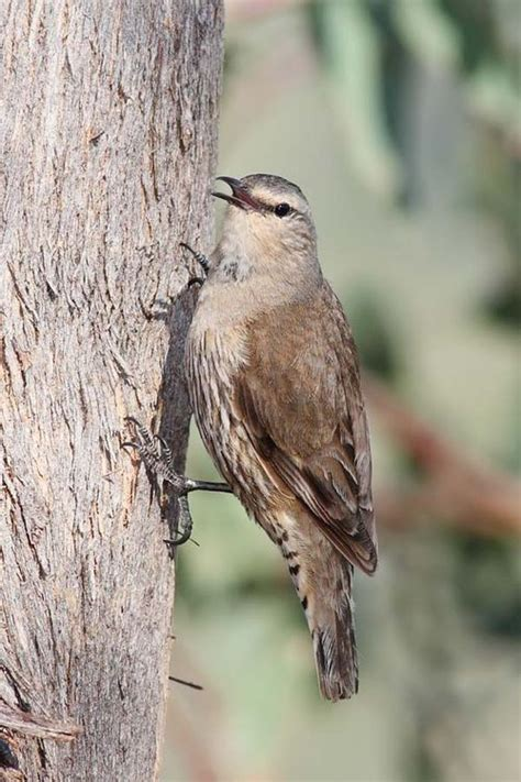 brown treecreeper climacteris picumnus