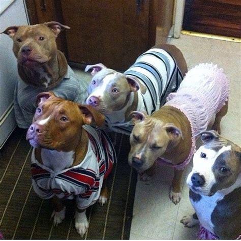 pitbull sweaters pitbulls in sweaters just d