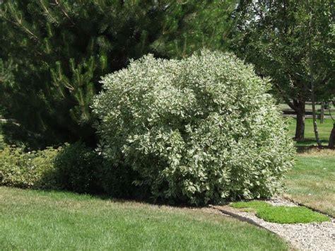 dogwood bush dogwood variegated redtwig thetreefarm com