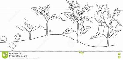 Coloring Growing Pepper Growth Stage Plant Plants