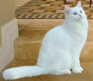 white cat breeds white cat breeds purrfect cat breeds