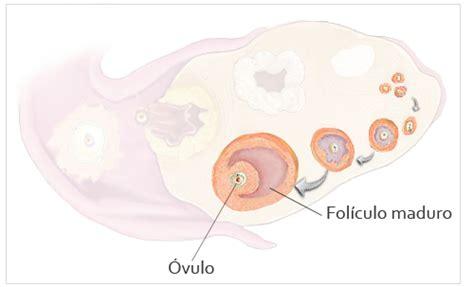 fases del ciclo de la ovulacion