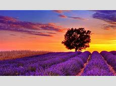 lavenderflowerfieldsunsethighresolutionwallpaperfor
