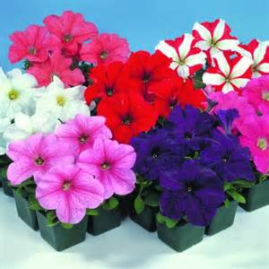 impatiens flowers buy petunia mini plugs online babyplants