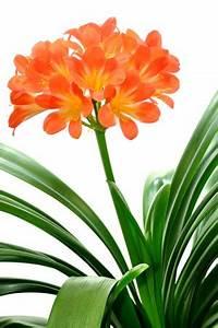 Pflanze Große Blätter : clivia clivie riemenblatt pflege anleitung und berwintern ~ Avissmed.com Haus und Dekorationen