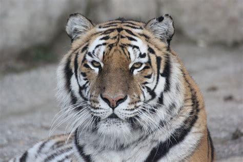 tiger  macro shot  stock photo