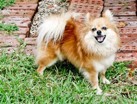 File Ee  Pomeranian Ee    Ee  Dog Ee   Standing Jpg