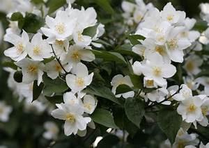 Zimmerpflanze Weiße Blüten : jasminum officinale der echte jasmin mein sch ner garten ~ Markanthonyermac.com Haus und Dekorationen