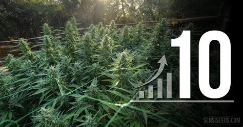chambre culture cannabis 10 astuces pour optimiser votre espace de culture de cannabis