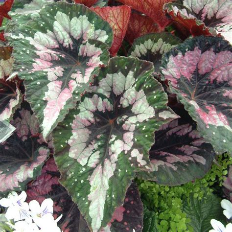 begonia plant begonia merry christmas all flower plants flower plants flowers garden dobies