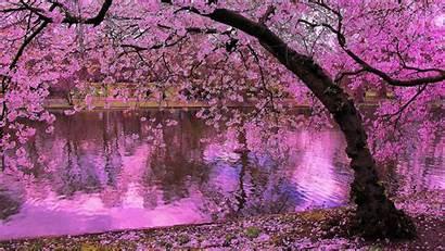 Sakura Wallpapers Android Screen