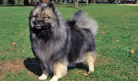 dogs that dont shed keeshond keeshond breed information