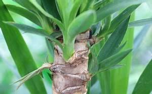 Gummibaum Verliert Blätter : gummibaum ficus elastica pflege anleitung plantopedia ~ Lizthompson.info Haus und Dekorationen