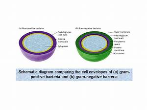 Schematic Diagram Comparing The Cell Envelopes Of  A  Gram