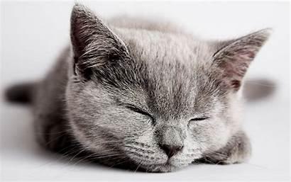 Kitten Sleeping Cat Wallpapers Sleepy Gray Desktop