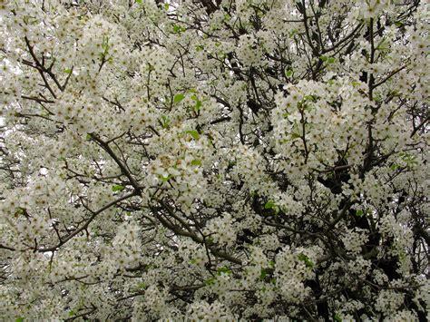 tree white blooms early file white flowers everywhere blooming tree west virginia forestwander jpg wikimedia commons