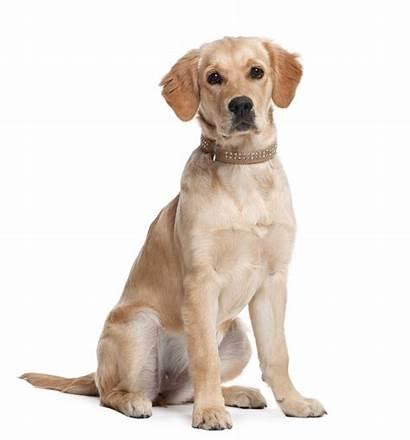 Retriever Golden Puppy Months Dog Dogs Service