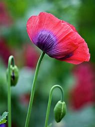 Best purple poppy ideas and images on bing find what youll love purple poppies flowers mightylinksfo