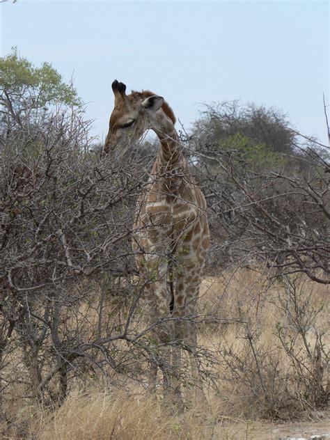 Namibia Nature Photos / Giraffe5.jpg