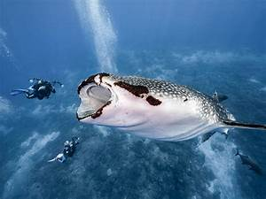 Photos Show Whale Shark Almost Swallowing Two Divers